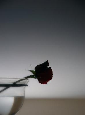 The rose is sleeping...