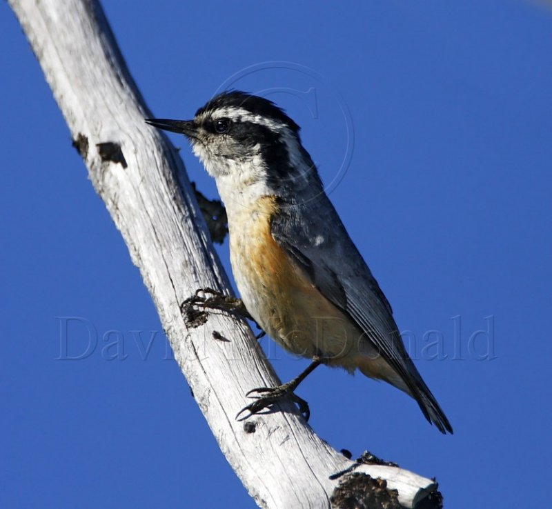 S013-1 Red-breasted Nuthatch_2885.jpg