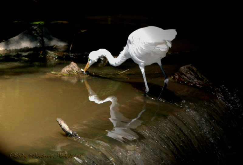 egret reflection-2-08.jpg