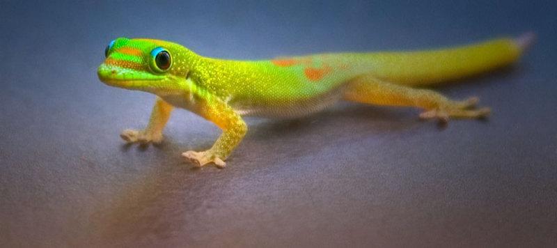 Baby gecko posing