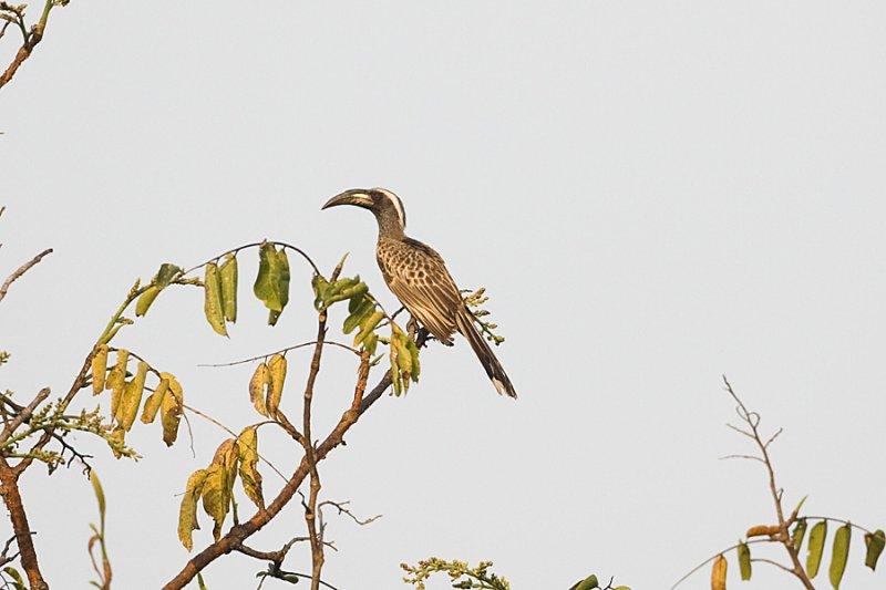 African Grey Hornbill 9996.jpg