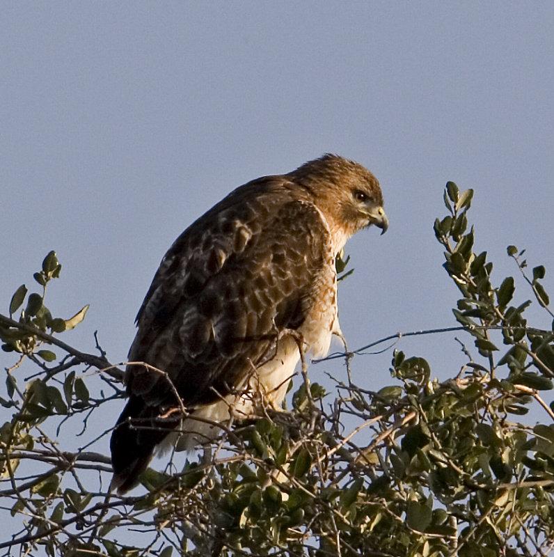 Red-winged Hawk