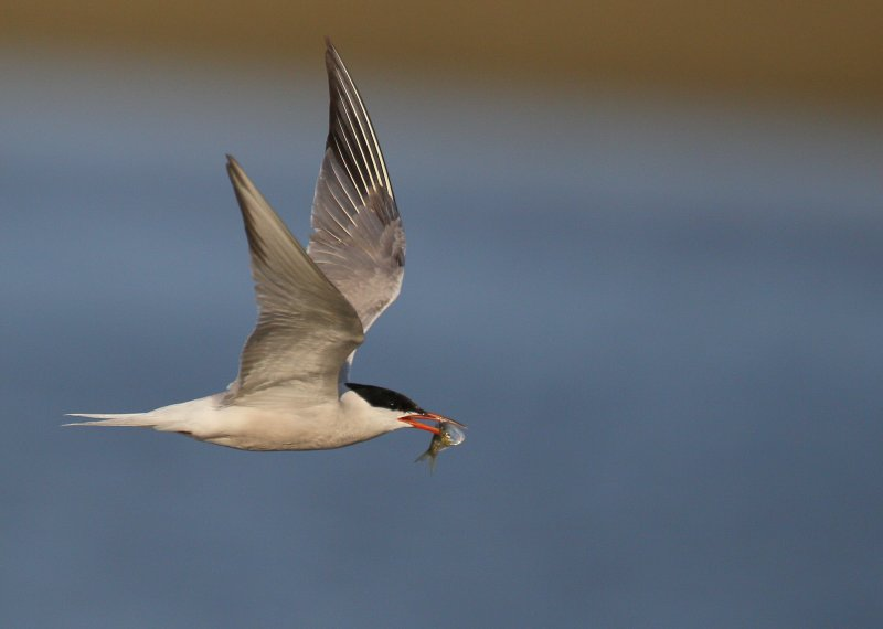 Common Tern, adult