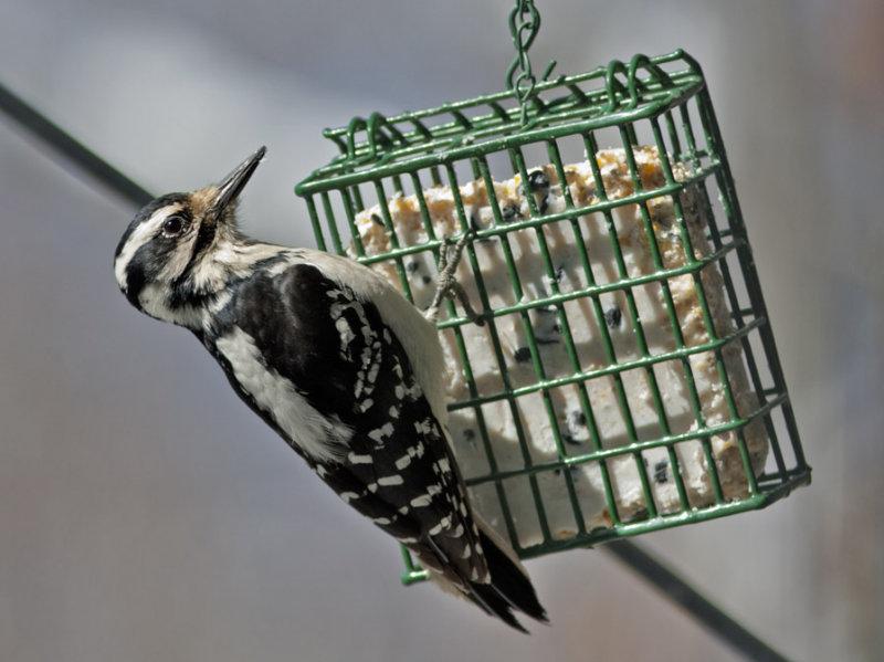 _MG_7199 Hairy(?)  Woodpecker