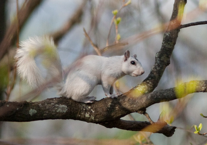 _MG_2864 White Squirrel