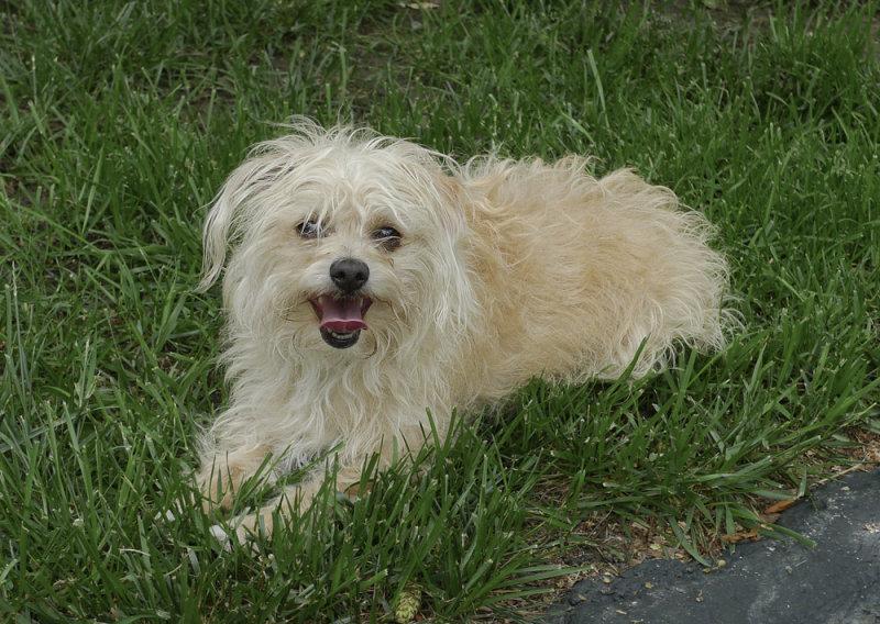 P1040352 Chihuahua Poodle Cross