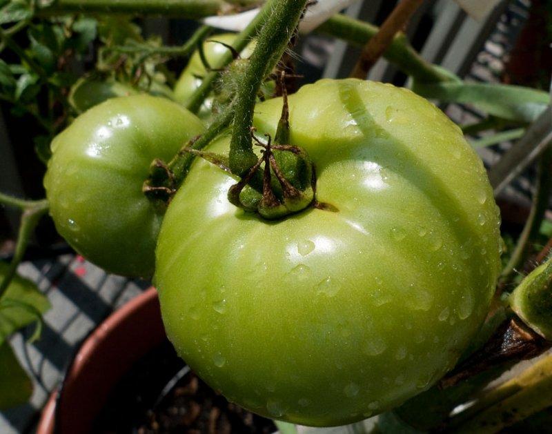 P1050624 Sun Shower Tomatoes