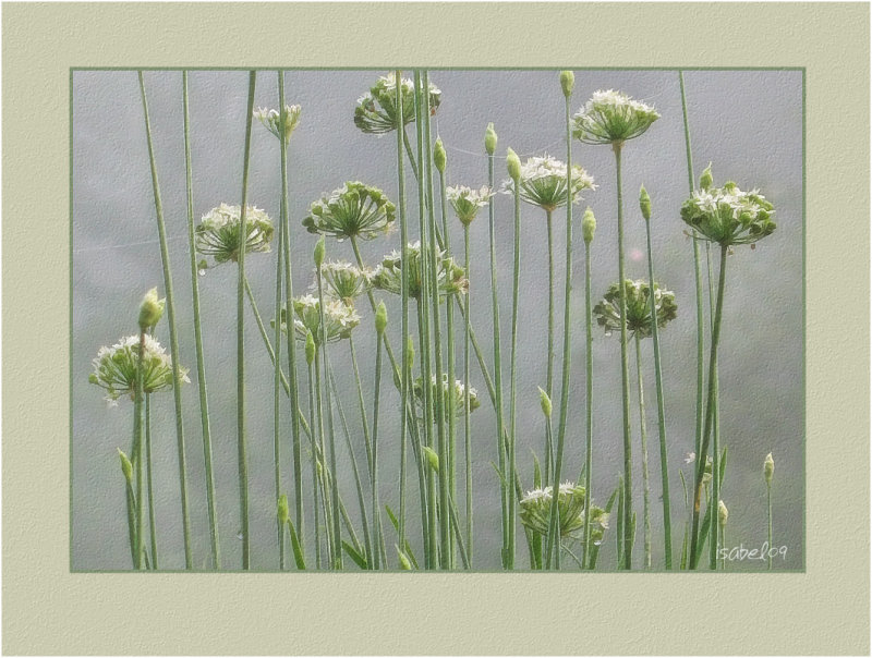 Garlic Chives in Fog
