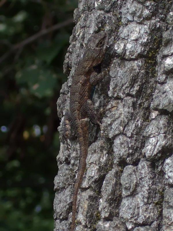 DSCF6268 Eastern Fence Lizard