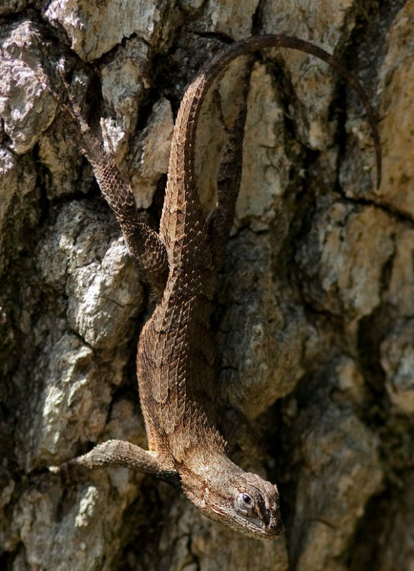 IMG_0196 300mm Eastern Fence Lizard