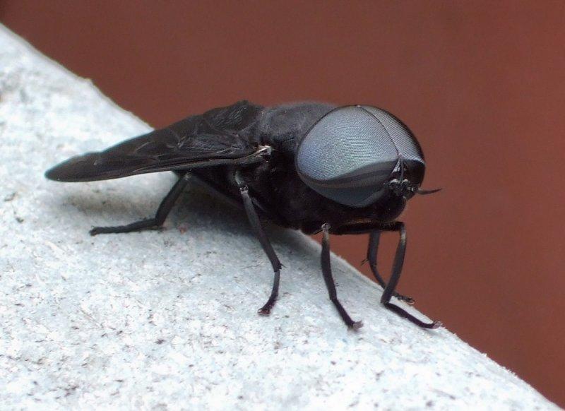 DSCF6889 Horsefly
