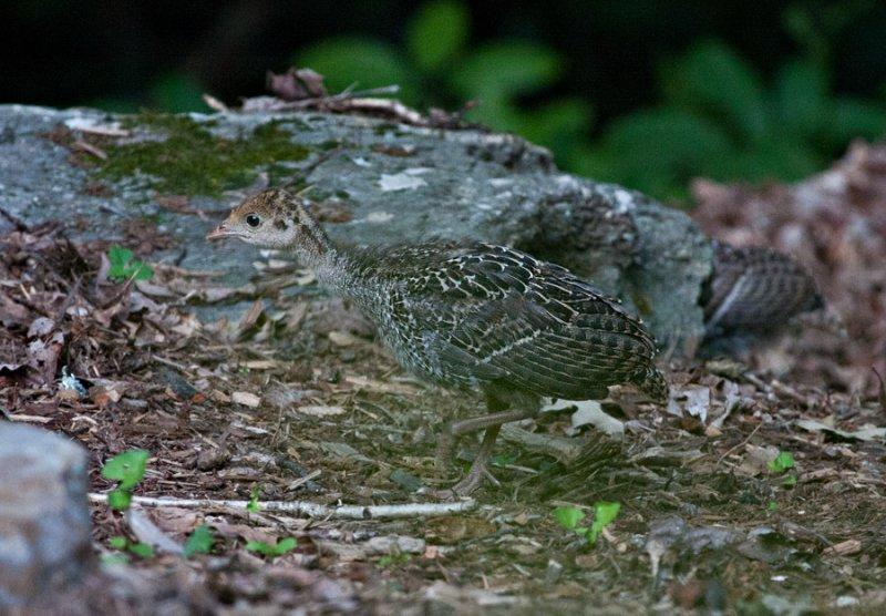 _MG_1693 Baby Turkey on the Run