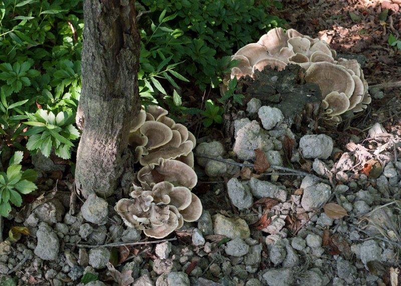 P1080466 Shelf Fungus