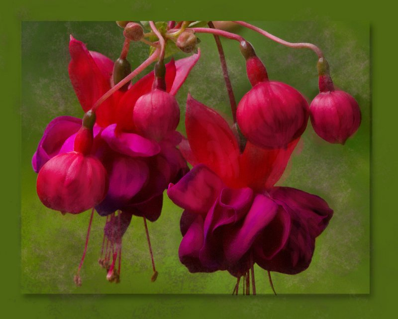 _MG_2722 Painted Fuchsias