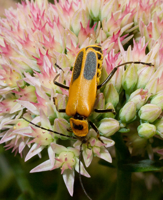 P8080333 Soldier Beetle or Leatherwing
