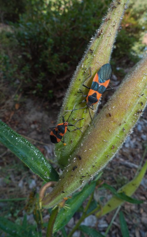 P1090035 Milkweed Bugs on Asclepias Seed Pod