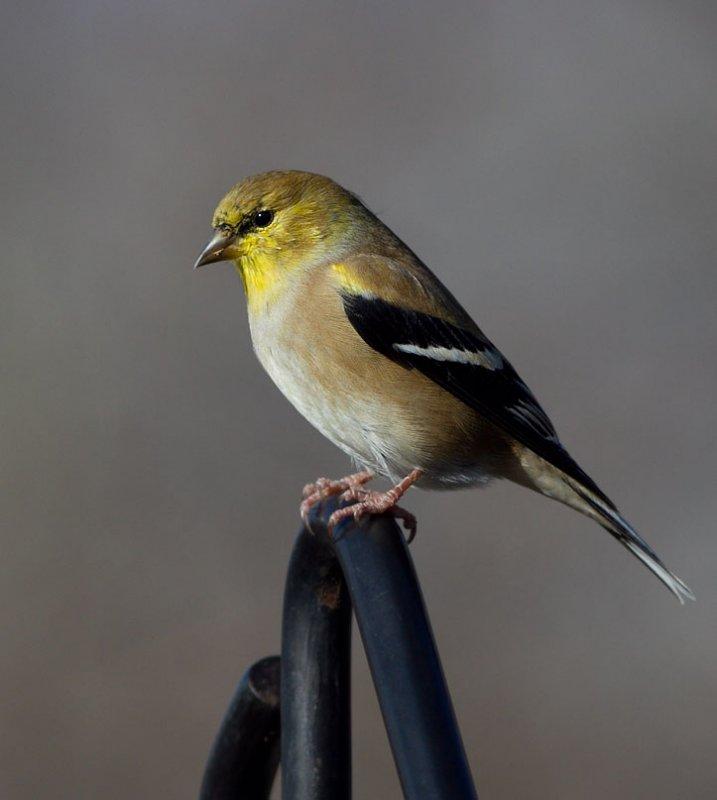 _MG_3808 American Goldfinch