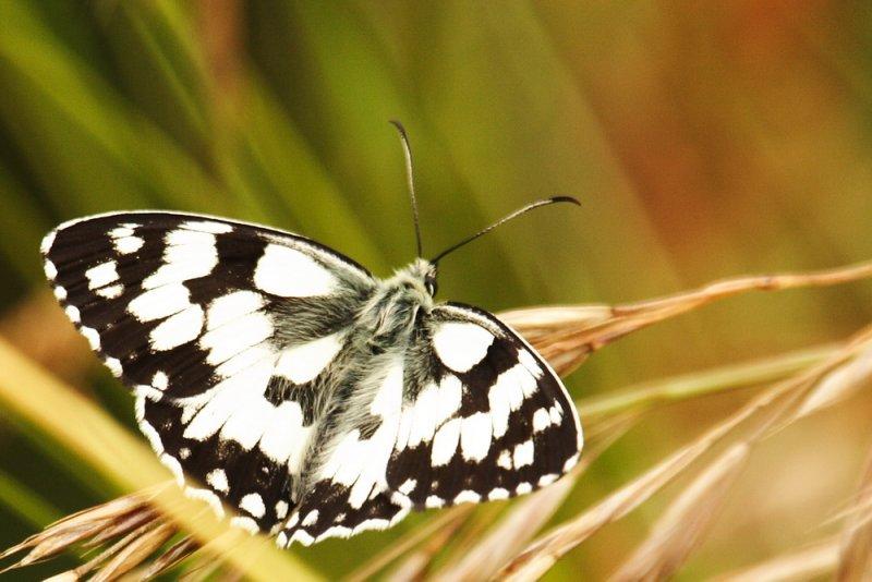 _MG_1428_papillon.jpg