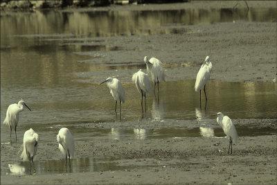White Herons in Maayan Tzvi.jpg