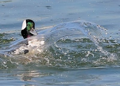 Bufflehead Splash