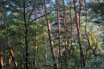 Forest of Mount Myohyang Nature Reserve