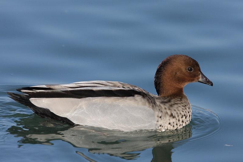 Australian Wood Duck, male