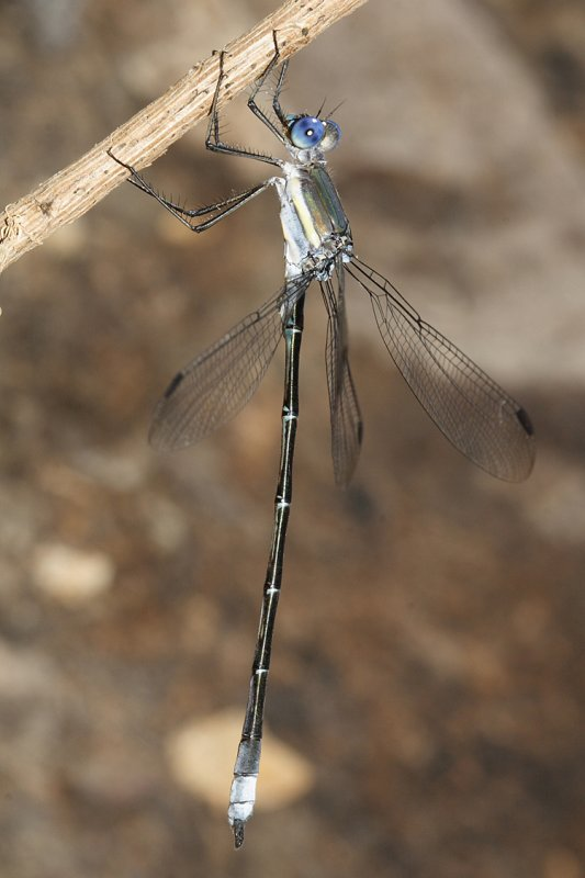 Great Spreadwing - Archilestes grandis