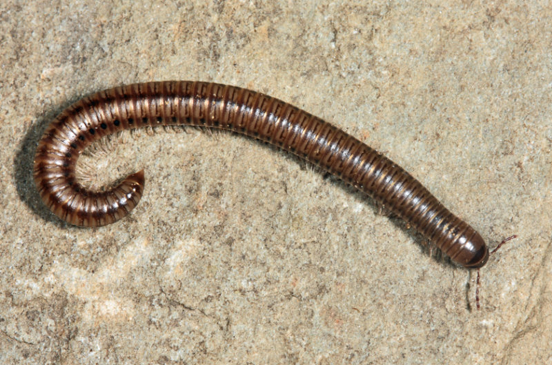 Parajulidae