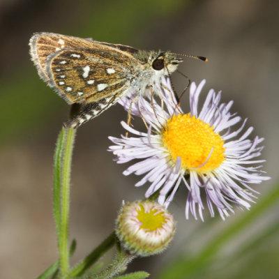 Many-spotted Skipperling - Piruna aea
