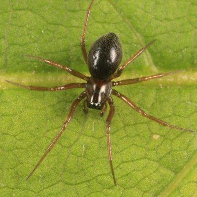 Mermessus tridentatus (female)