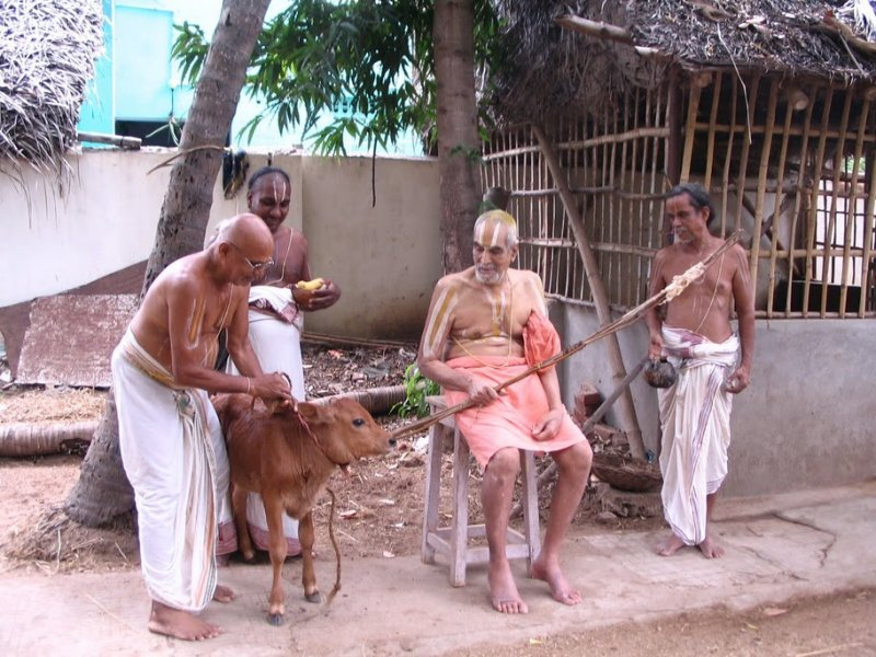 Blessed little calf, born at poundarikapuram andavan ashramam and receiving acharyans kataksham everyday.jpg