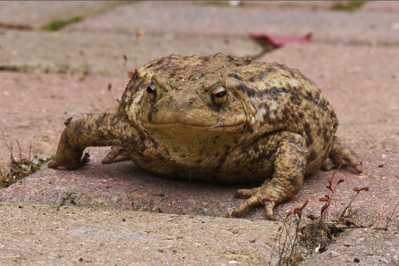 Karls Toad - original