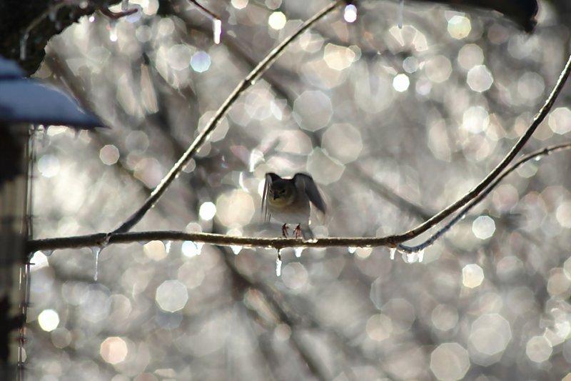 Finch in Ice Taking Flight