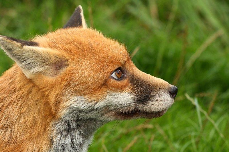 Marley, a dog fox