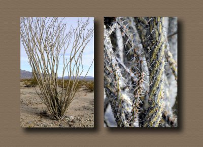 Spiny Ocotillo