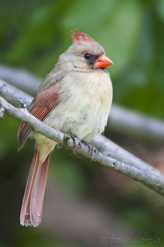 Cardinal rouge<br>Northern Cardinal