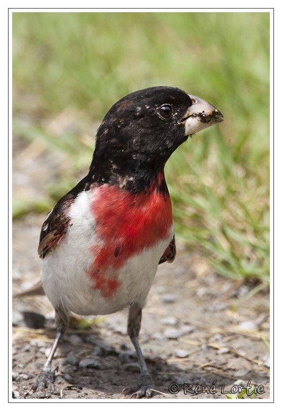 Cardinal à poitrine rose<br>Rose-breasted Grosbeak