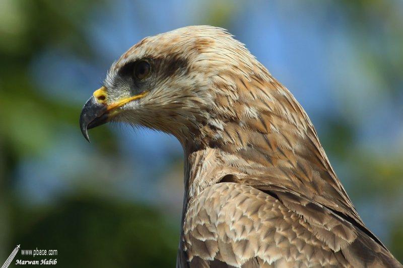 Bird of prey / Rapace