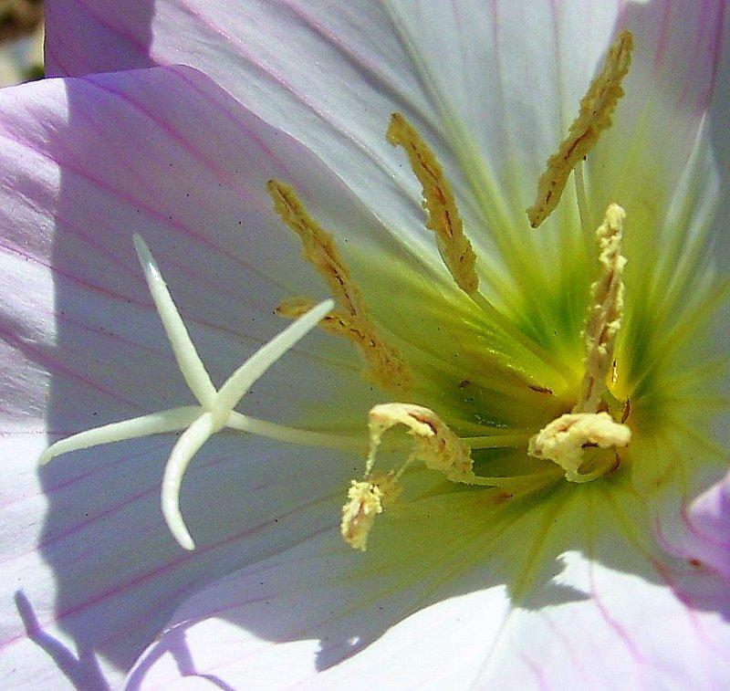Showy Evening Primrose Close Up
