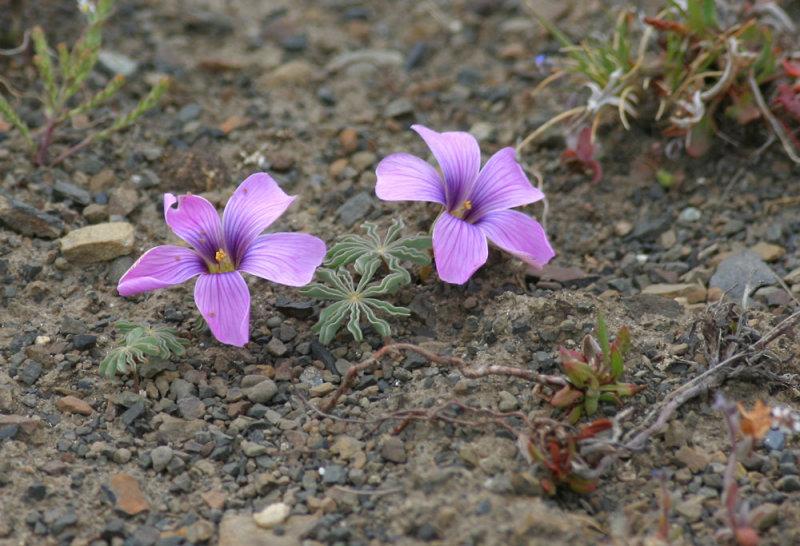 Patagonia-flower.jpg