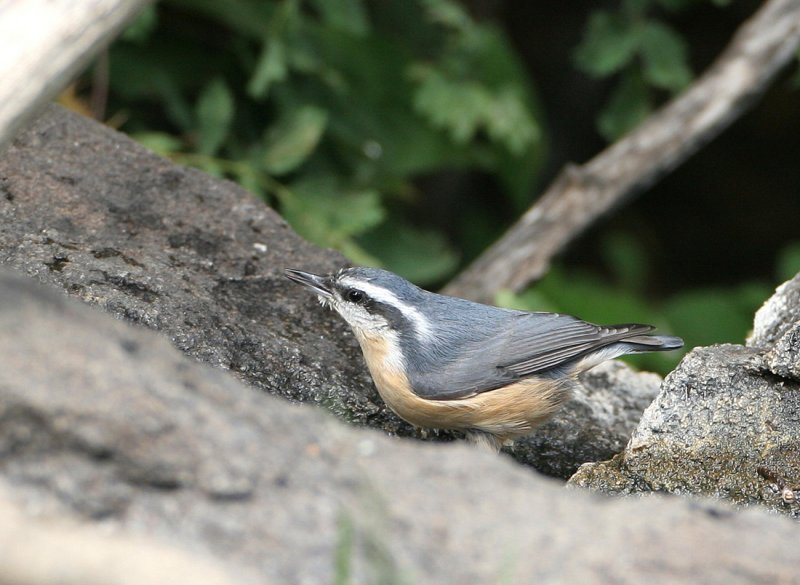 Red-breasted Nuthatch   12 Sep 07   IMG_5623.jpg