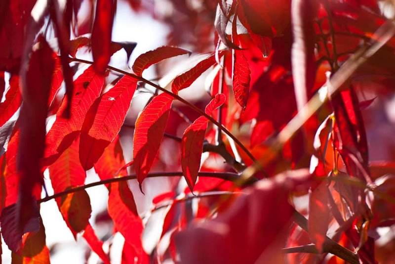 Red Leaves in Fall