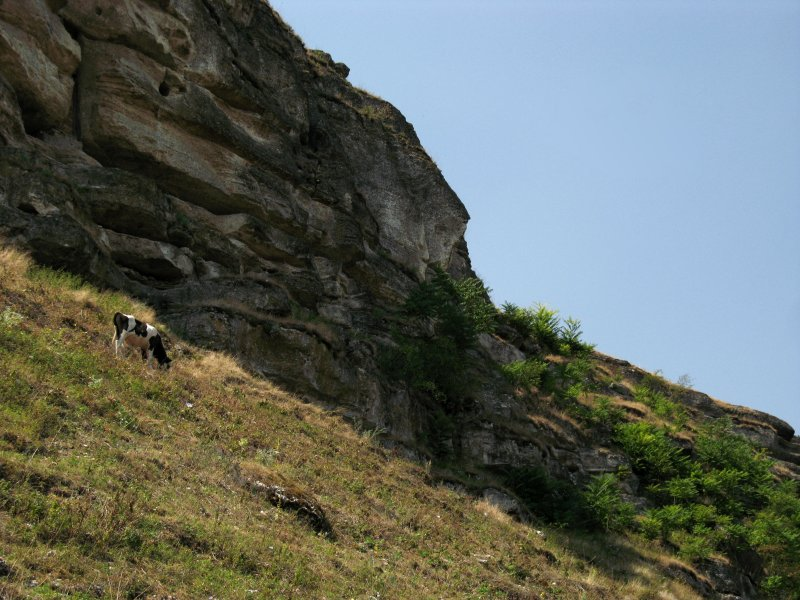 Cow grazing below the cliff face