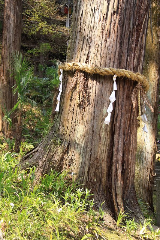 Old cedar with paper streamers