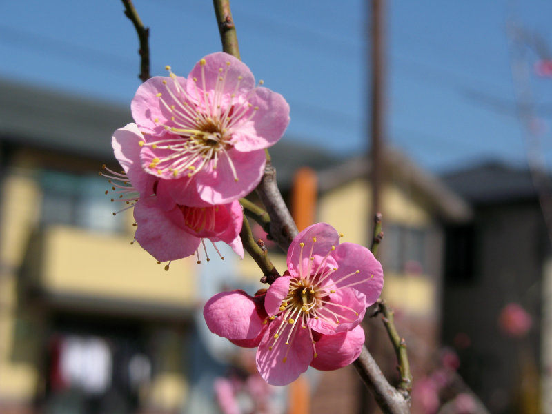 Ume blossoms along the road to the shrine