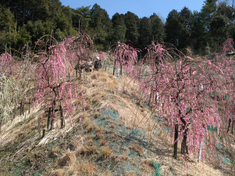 Ume trees growing on the slope