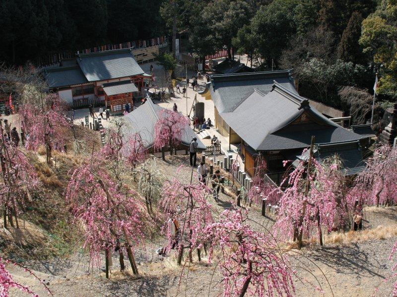 Ume trees and shrine below