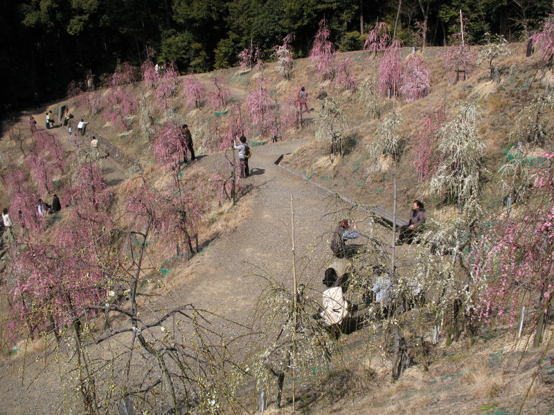 Visitors resting among the ume