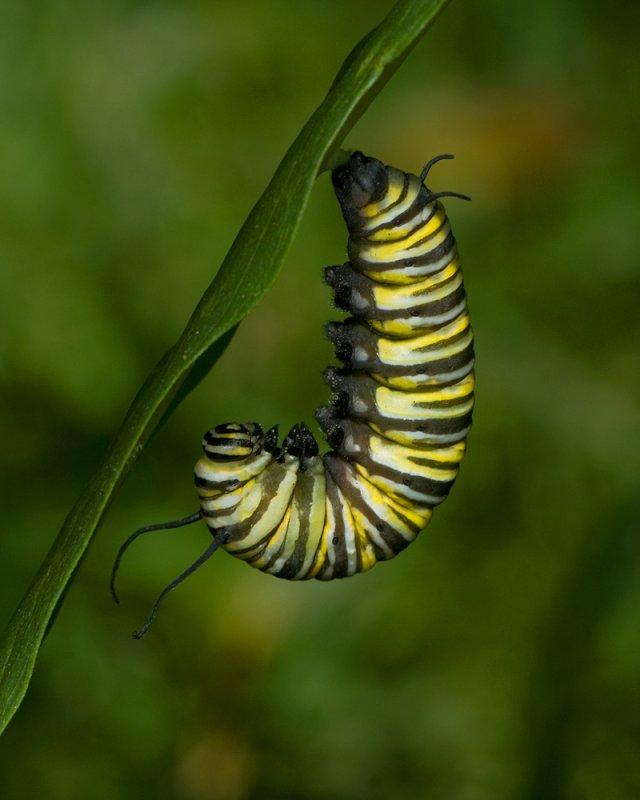 Monarch cat J IMGP7251.jpg
