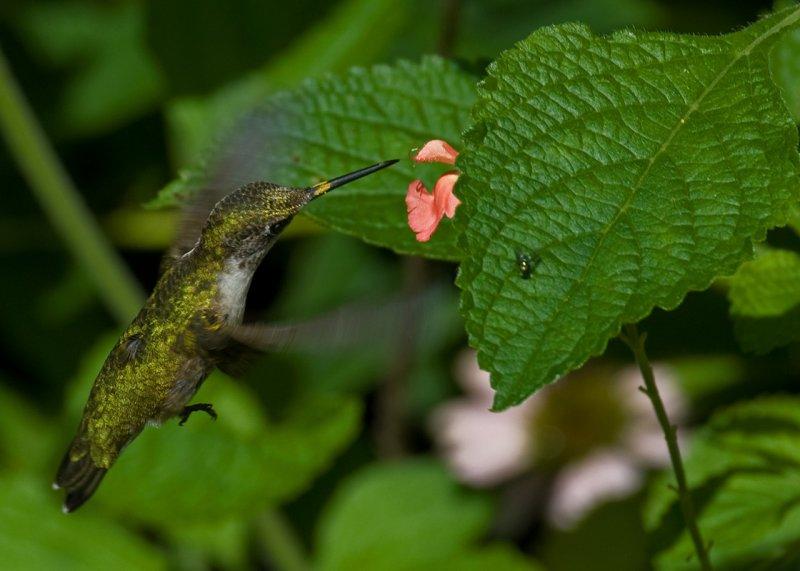 Salvia greggii - Lowrys Peach IMGP9239.jpg